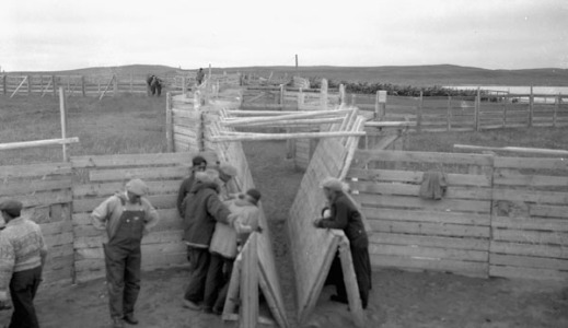 Black-and-white photograph of a group of men standing around a small reindeer chute and pen.