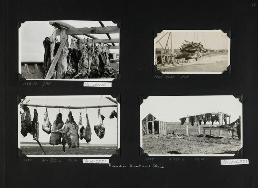 Black-and-white photograph of a photo album collage. Four photographs showing reindeer carcasses and skins drying.