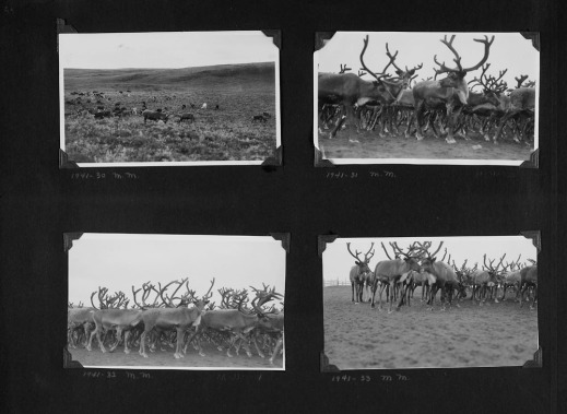 Black-and-white photograph of a photo album collage. Four photographs showing reindeer herds. Some photographs are taken from afar, others are close-ups of the herd.