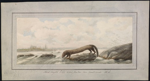 Watercolour of a mink on a riverside dipping one of its paws into the water.