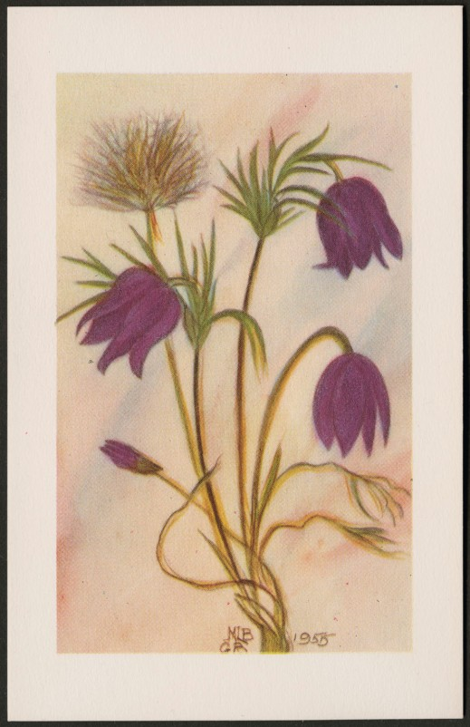 A colour reproduction of a plant with four purple flowers and one that has turned to seed. Centred at the bottom are the initials MLB and GB, and it is dated 1955.