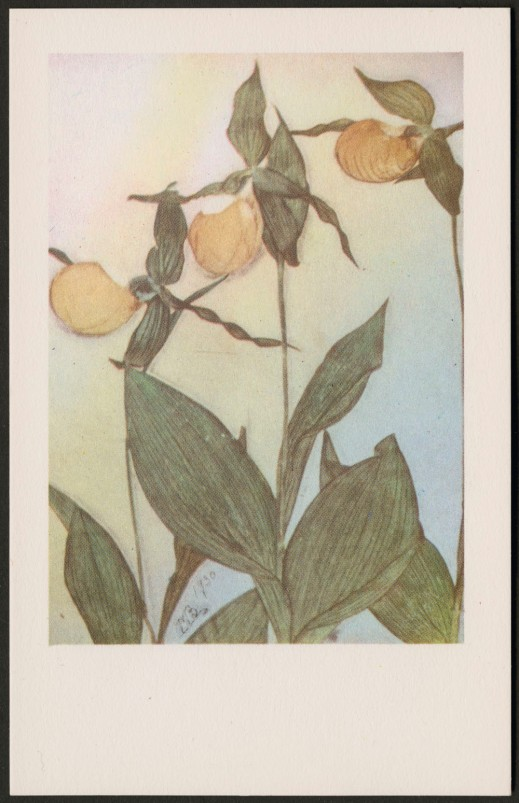 A colour reproduction of a plant with three yellow flowers with wide leafy bases. It is initialed MB and dated 1930.