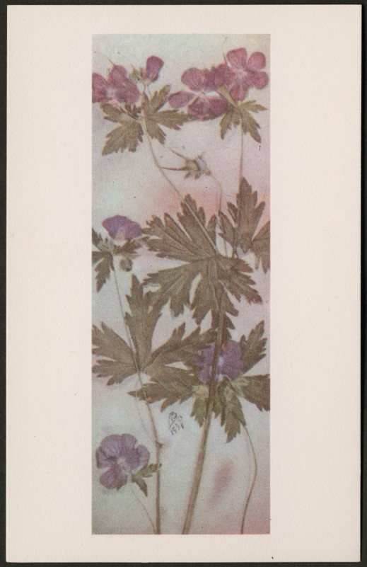 A colour reproduction showing a plant with small purple flowers and wide, deeply lobed leaves. It is initialed MB and dated 1930.