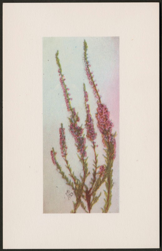 A colour reproduction showing a plant with long woody stems, closely clustered tiny pink flowers and small leaves. The print is initialed MB and dated 1920.