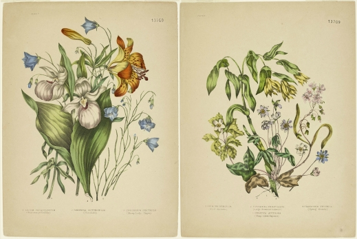 Two colour plates of colourful flowers with green leaves. Left: Wild Orange Red Lily, Harebell, and Showy Lady's Slipper. Right: Sharp-lobed Hepatica, Large-flowered Bellwort, Wood Anemone, and Spring Beauty.