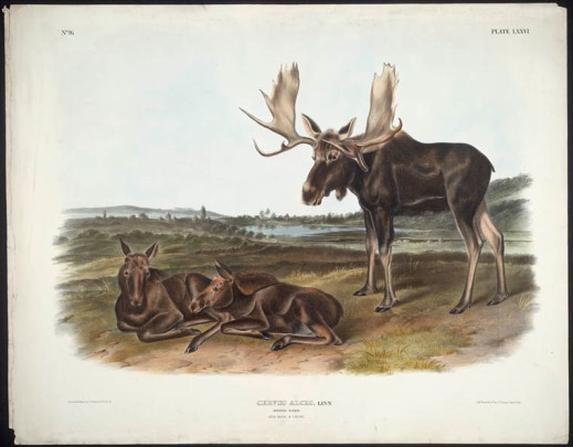 A coloured print of two moose calves lying on the ground and an adult bull moose standing next to them.