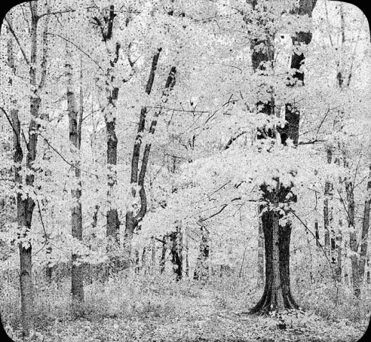 A black-and-white photograph showing a grove of trees, possibly in the fall.