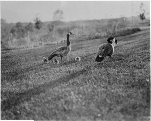 A black-and-white photograph of two adult Canada Geese and three one-day-old goslings standing on a lawn