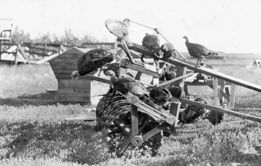 A black-and-white photograph of eight turkeys roosting on a horse-drawn disc harrow, with two turkeys on the ground behind it.