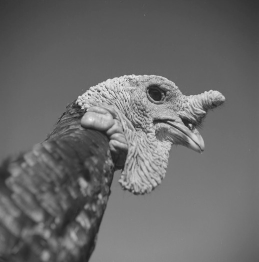 A black-and-white close-up photograph of a male turkey.
