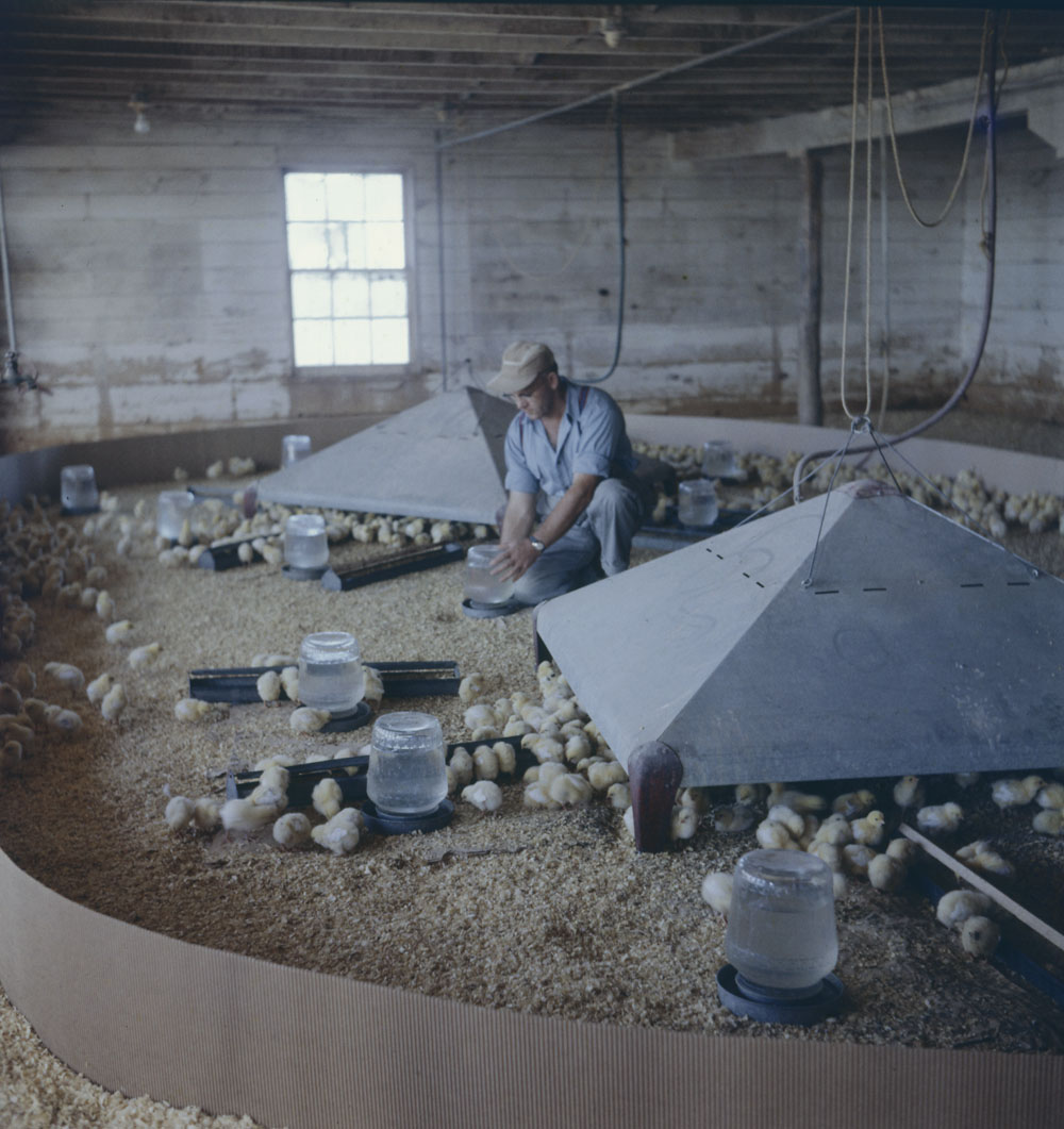 A colour photograph of a man placing water dishes in an enclosure for chicks.