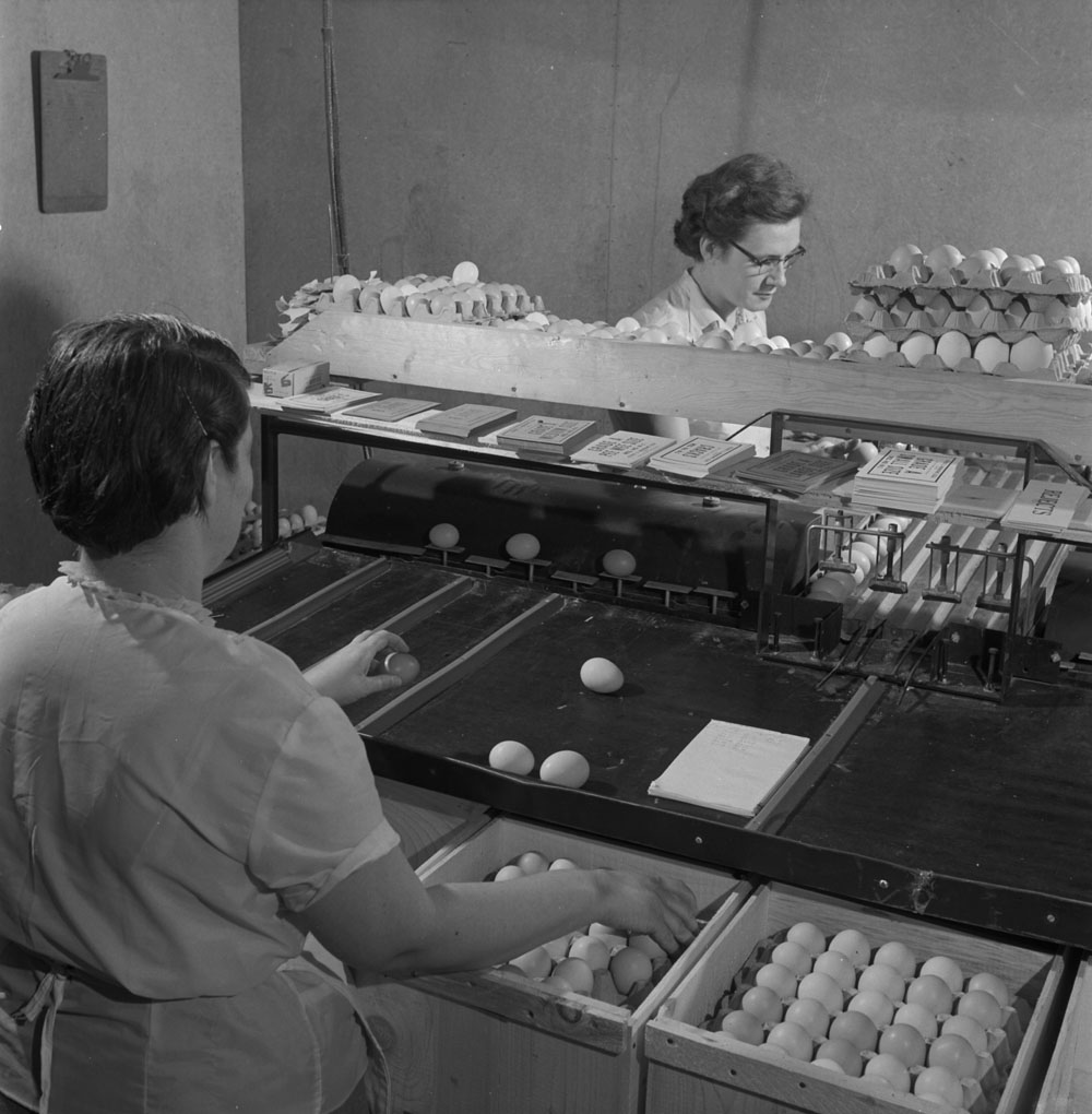A black-and-white photograph of two women inspecting eggs, as they move along a conveyor belt, and placing them in cartons.