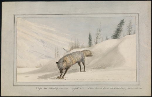 A watercolour of a white fox hunting a mouse in a snowy landscape.