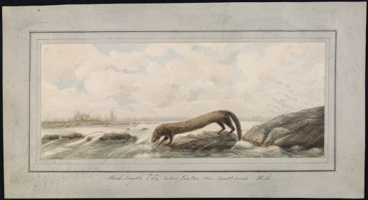 A watercolour of a mink peering into the water by a rocky river shore.