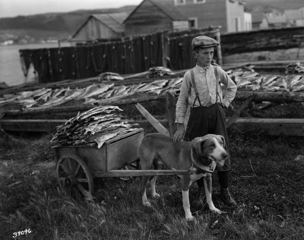 A black-and-white photograph of a boy with his dog harnessed to a two-wheeled cart. The cart is loaded with dried cod.