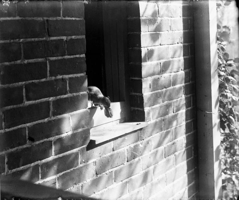 A black-and-white photograph of a squirrel with a butternut in its mouth exiting a building from an open window.