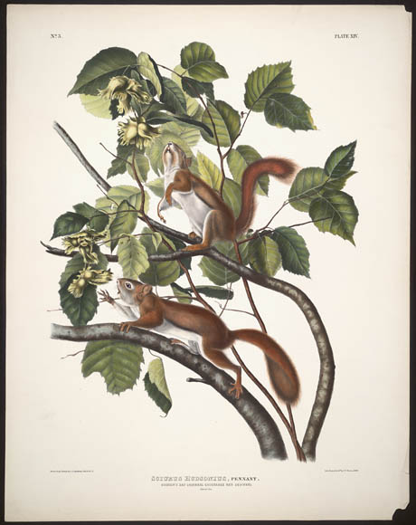 A colour print depicting a Hudson's Bay squirrel and a Chickaree Red squirrel foraging for food amongst trees branches.