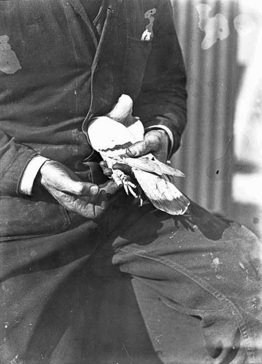 A black-and-white photograph of a carrier pigeon held in a bush pilot's hands.