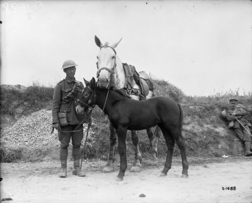 A black-and-white photograph of a soldier standing on a road holding the reins to his mare (horse) and its foal (mule).
