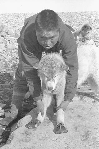 A black-and-white photo of a man holding a sled dog. The sled dog is wearing booties.