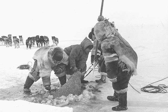 A black-and-white photo of some people pulling a seal, which they have just hunted, out of a hole in the ice. A sled dog team is in the background.