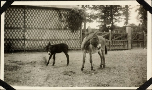 A black-and-white photograph of two donkeys standing in an enclosed yard.
