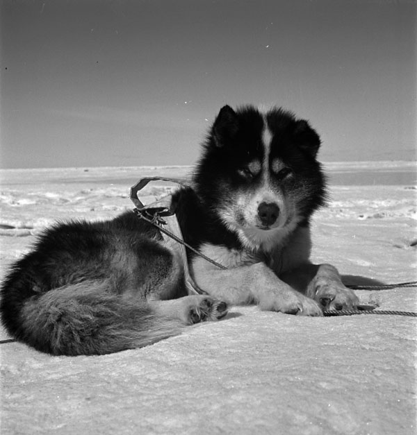 A black-and-white photo of a sled dog resting on the snow.