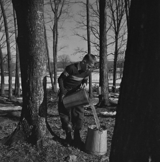 A black-and-white photograph of Jerry Boyce in a wooded lot of maple trees pouring sap from a collection bucket into a larger can.
