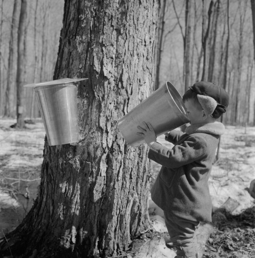 A black-and-white photograph of a young boy next to a large maple tree taking a sip of sap from a collection bucket.
