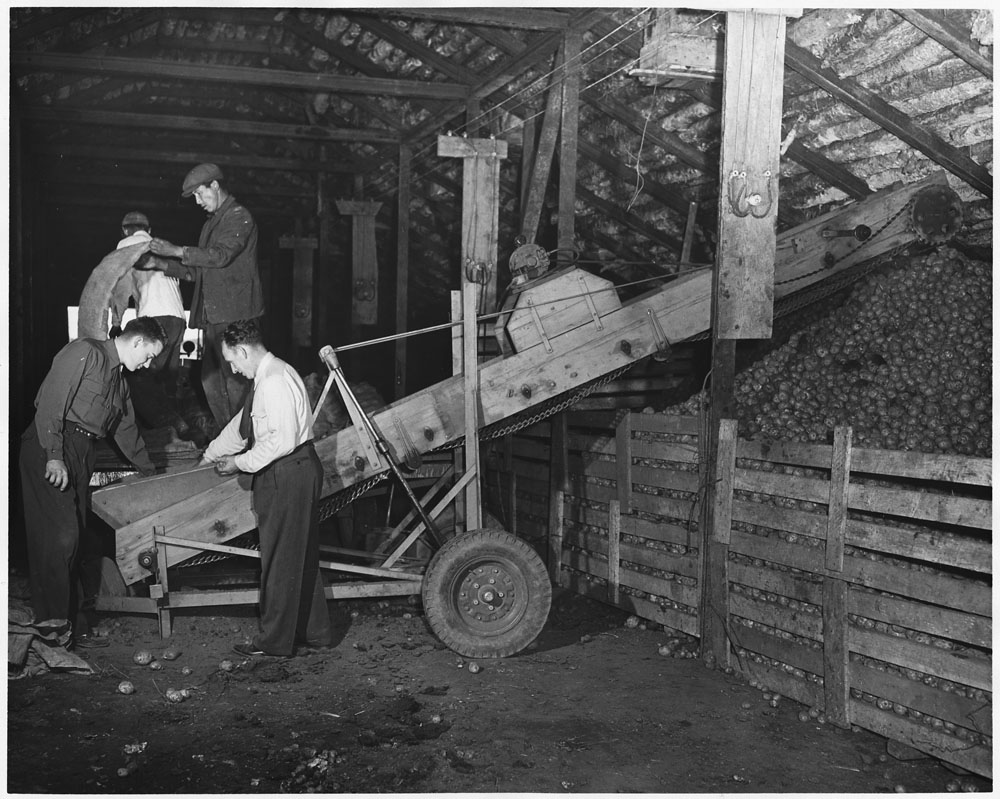 A black-and-white photograph of four men examining potatoes on a small conveyor belt in a barn.