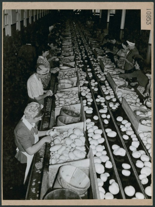 A black-and-white photograph of women factory workers involved in the preparation and production of potatoes.