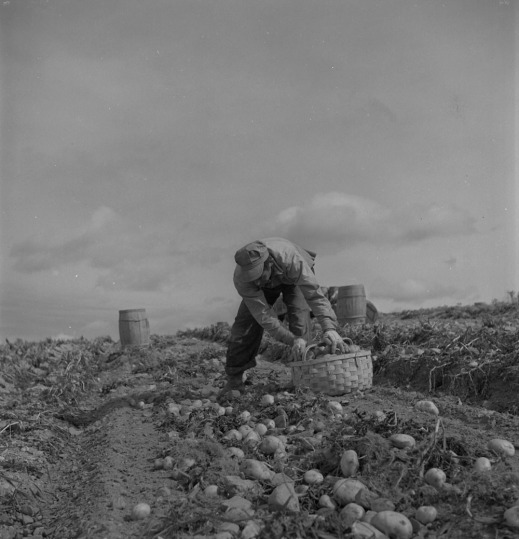 A black-and-white photograph of a man collecting potatoes in a field and filling a basket.