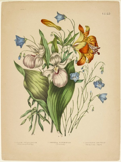 Two white lady's slippers standing upright among large green leaves, an orange lily, a lily bud, and small blue harebells.