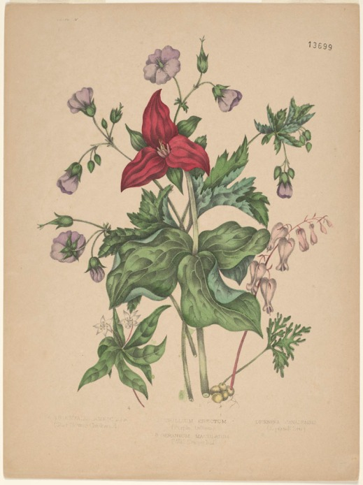 A red trillium standing upright among large green leaves, round purple flowers, and pale purple flowers.